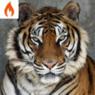 _bengal_tiger